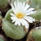 Conophytum schlechteri syn: Ophthalmophyllum schlechteri Samen
