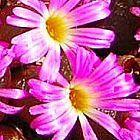 Conophytum subfenestratum Sukkulente Samen