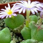 Conophytum taylorianum ssp nova syn: Ophthalmophyllum taylorianum ssp nova Samen