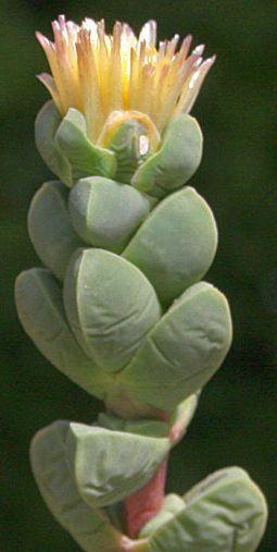 Corpuscularia lehmannii Sukkulente Samen