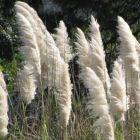 Cortaderia selloana White Herbe de la Pampa graines