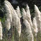 Cortaderia selloana White Pampasgras Samen