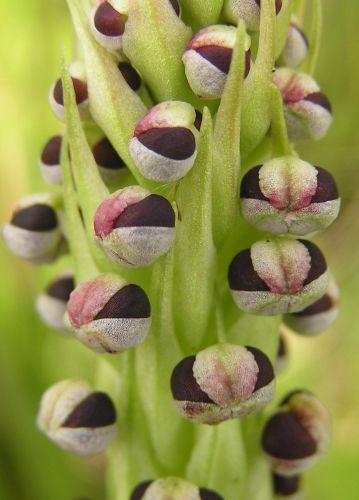 Corycium nigrescens  semillas