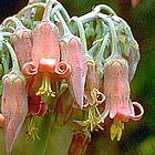 Cotyledon campanulata