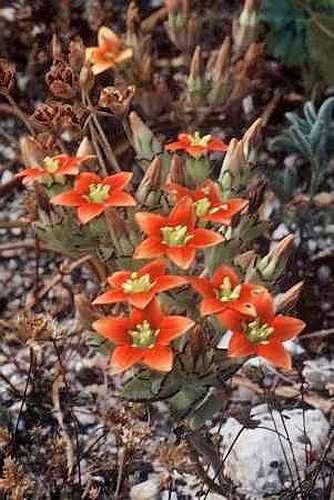 Crassula dichotoma  Семена
