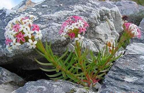 Crassula fascicularis  Семена