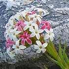 Crassula fascicularis syn. Crassula odoratissima Samen