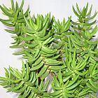 Crassula tetragona Mini Pinien Baum Samen