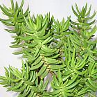 Crassula tetragona  cемян