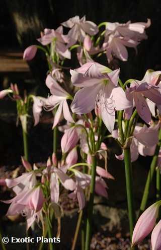 Crinum moorei  semillas