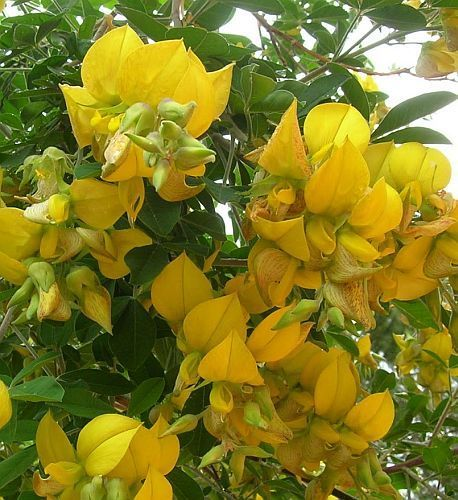 Crotalaria capensis Кроталария капская  Семена