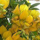 Crotalaria capensis Crotalaria graines