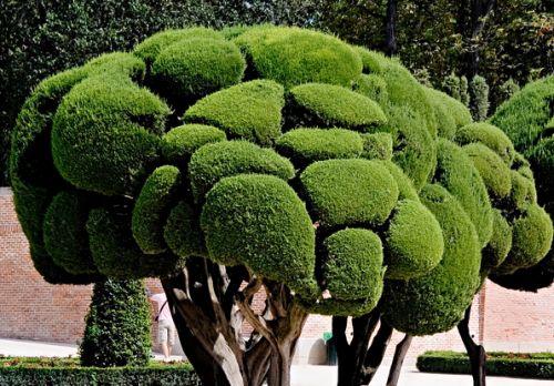Cupressus sempervirens Mittelmeer-Zypresse - Säulenzypresse Samen
