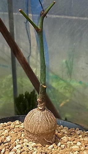 Cussonia gamtoosensis Gamboos Kohl Baum Samen
