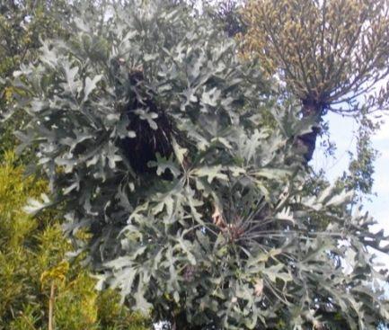Cussonia paniculata subsp. sinuata Gebirgskohlpalme Samen