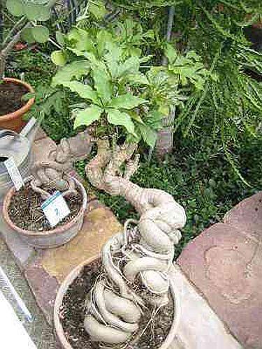 Cussonia spicata  Семена