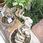 Cussonia spicata Kohlbaum Samen