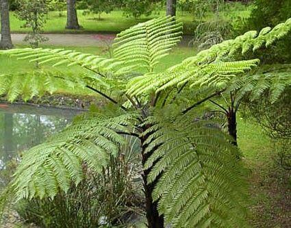 Cyathea australis  semillas