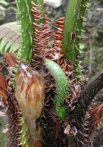 Cyathea bicrenata Baumfarn Samen