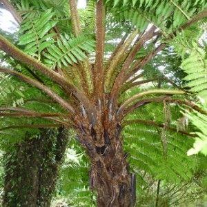 Cyathea carrii Baumfarn Samen