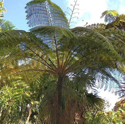 Cyathea contaminans helecho árbol semillas