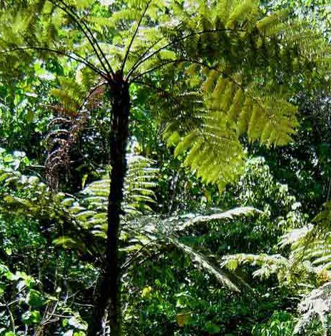 Cyathea erinacea Baumfarn Samen