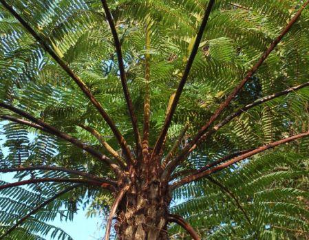 Cyathea schiedeana Fougère arborescente graines