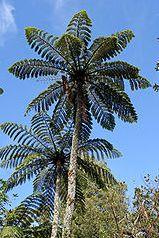 Cyathea sp. Tiny Top Baumfarn Samen