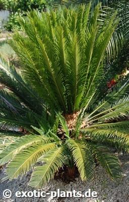 Cycas revoluta Sagú, Palma de Sagú semillas