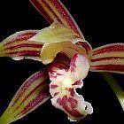 Cymbidium ensifolium Orchideen Samen