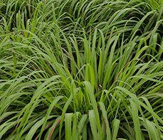 Cymbopogon winterianus  semillas