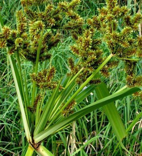 Cyperus dives Dekoratives Gras Samen
