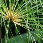 Cyperus papyrus  semillas