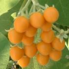 Cyphomandra abutiloides  cемян