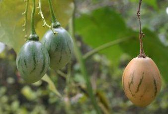 Cyphomandra betacea white egg Weisse Baumtomate Samen