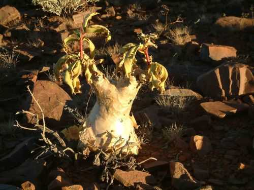 Cyphostemma bainesii Afrikanischer Traubenbaum Samen