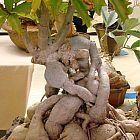 Cyphostemma cirrhosum  cемян