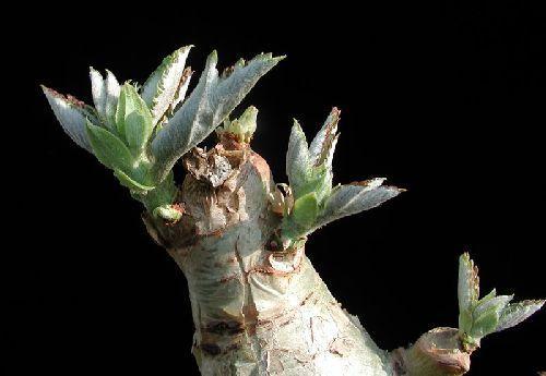 Cyphostemma currori Caudexpflanze Samen
