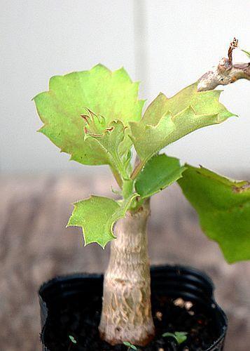 Cyphostemma orondo Caudexpflanze Samen