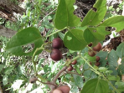 Cyphostemma simulans Caudexpflanze Samen