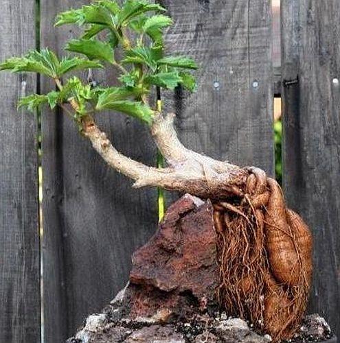 Cyphostemma woodii Caudex semillas