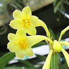 Cyrtanthus flanaganii gelbe Lilie Samen