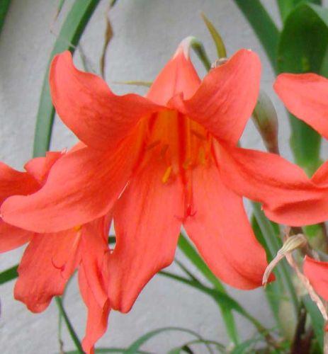 Cyrtanthus sanguineus  semillas