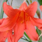 Cyrtanthus sanguineus Inanda-Lilie Samen