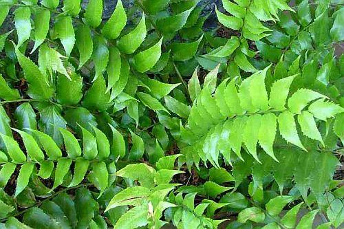 Cyrtomium falcatum Sichelfarn Samen