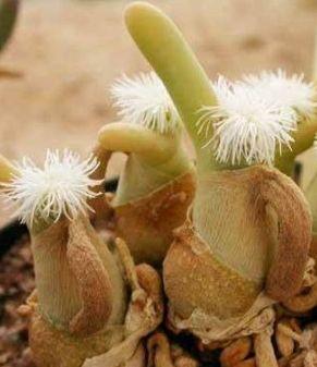Dactylopsis digitata Syn: Mesembryanthemum digitatum Samen