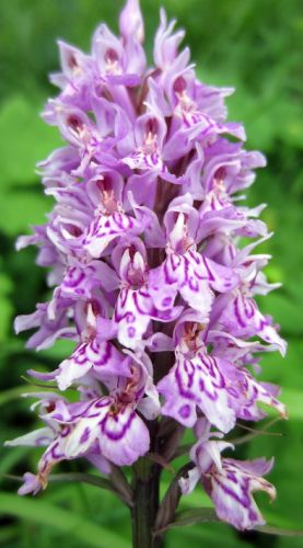 Dactylorhiza fuchsii Orchidee Fuchs Knabenkraut Samen