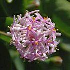 Dais cotinifolia ?rbol pomp?n semillas