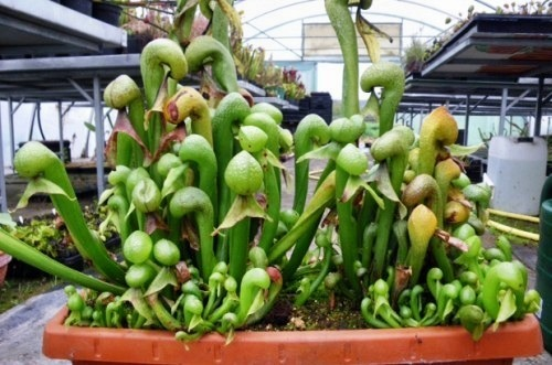 Darlingtonia californica Дарлингтония калифорнийская Кобра-Лилия   Семена
