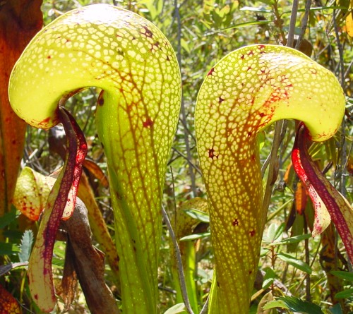 Darlingtonia californica Sandlake Cobra Lily Samen